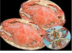 濃厚な味「豊前海産活渡り蟹塩ゆで」中メス2匹