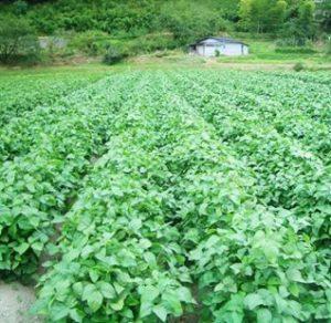 佐用町産丹波黒枝豆(枝付き)約3kg