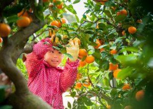 ミヤモトオレンジガーデンの河内晩柑 約4kg